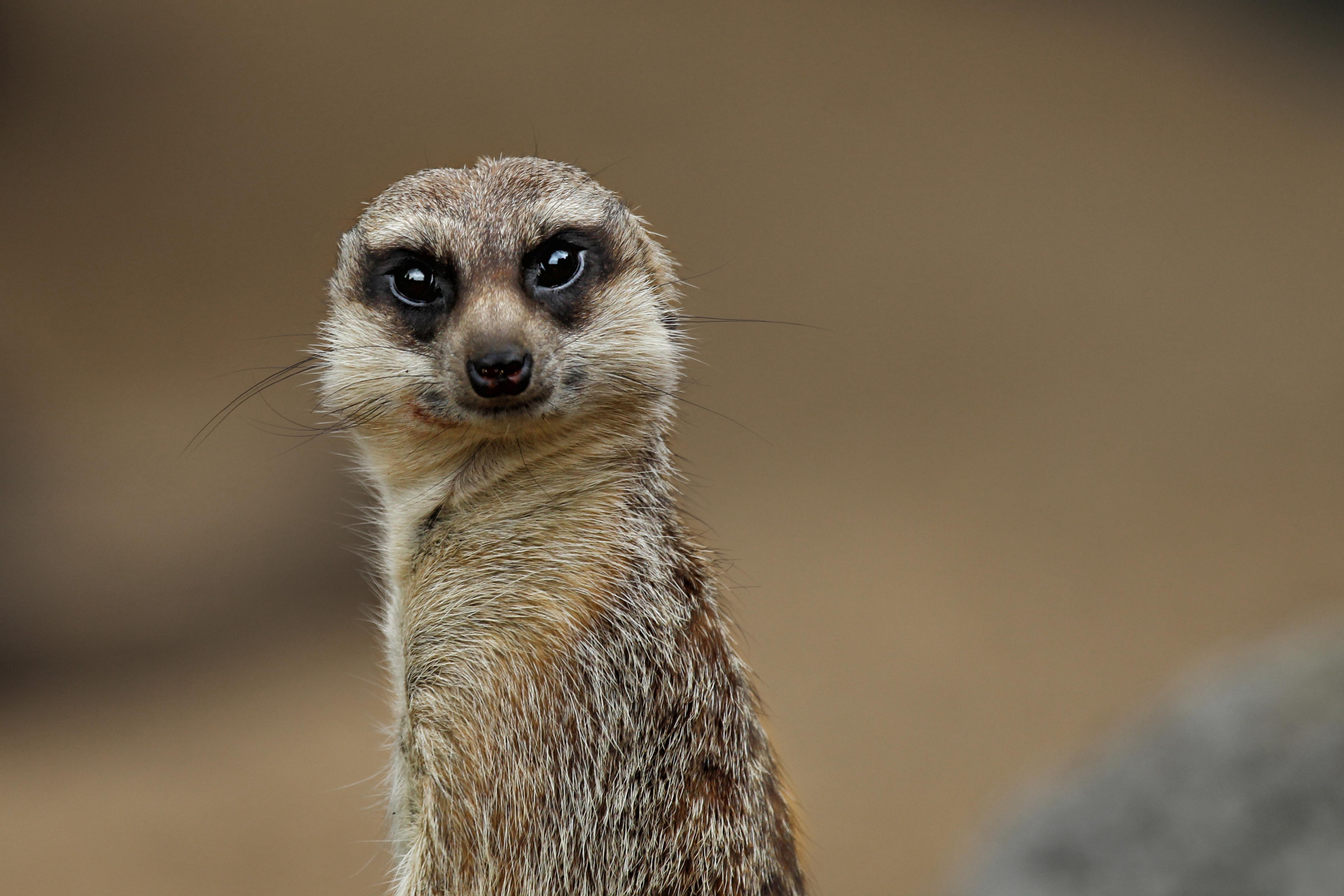 IMG_8146 meerkat 2